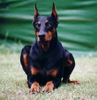 MILANO, CONTROLLI ALL' INTERNATIONALER DOBERMANN CLUB